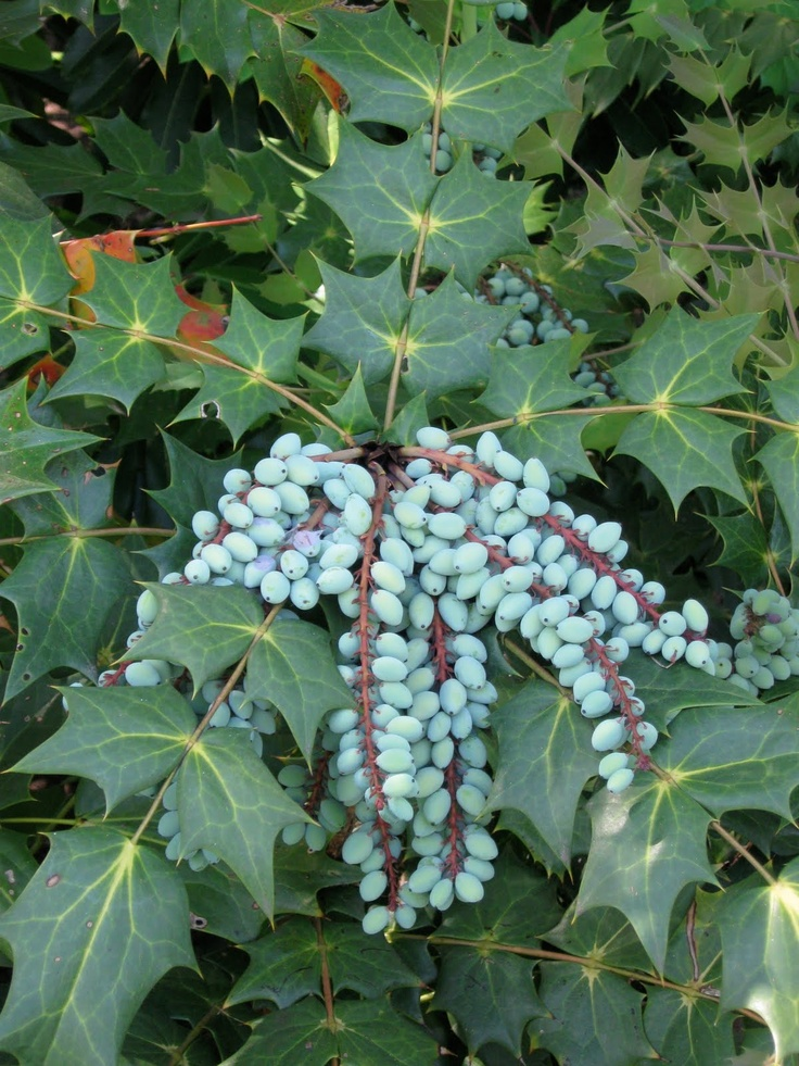 22 best Evergreen Shrubs images on Pinterest Evergreen
