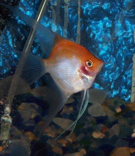 399 best images about aquariums angelfish on pinterest for White fish types
