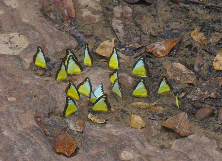 Butterflies by the Klong Chao waterfall, Koh Kood. See more here: http://www.kathrinerostrup.dk/2013/05/exploring-koh-kood-part-ii/