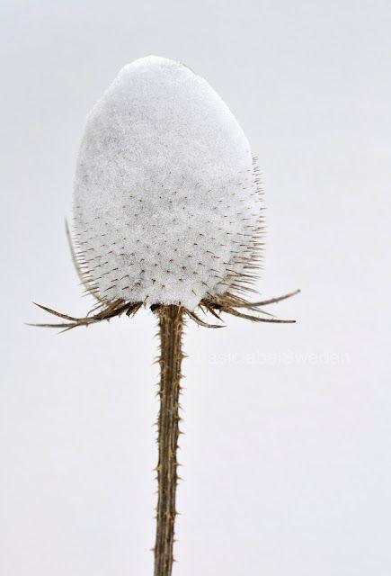 Snowy coneflower?