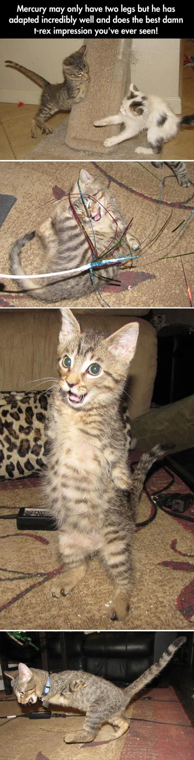 Mercury, the kitty born without 2 front legs