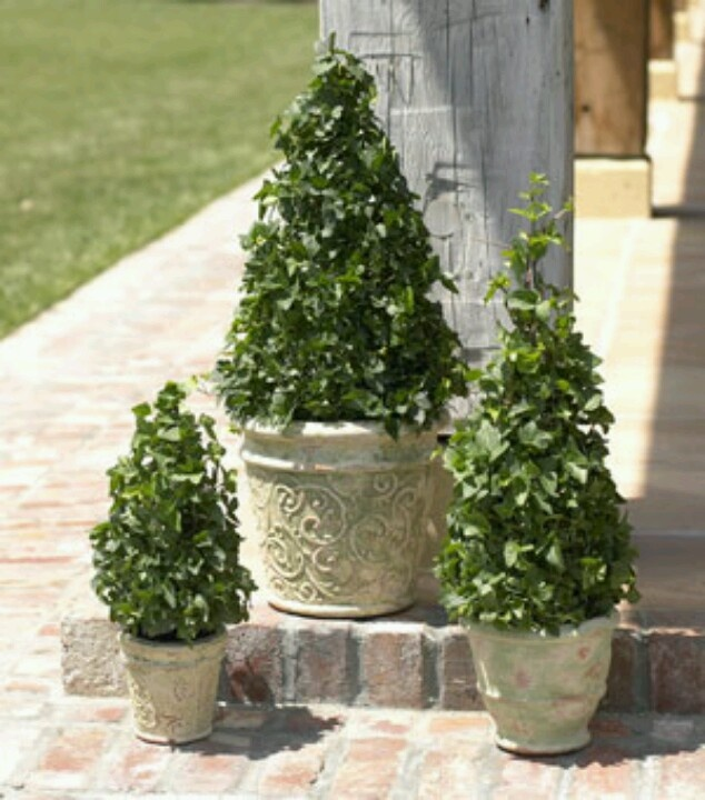 Three Ivy Tree Shaped Topiaries
