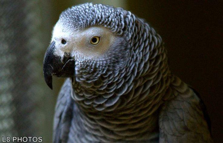 Psittacus erithacus - Também conhecido como papagaio-cinzento, o papagaio-do-Congo. Além de conseguir imitar vários sons e muitas palavras, é capaz também de aprender truques, resolver problemas e associar palavras a objetos.A plumagem é predominantemente cinza, exceto a cauda, que é vermelha. A pele ao redor dos olhos é nua e branca. O bico é negro. Mede até 33 centímetros de comprimento e pesa até 500 gramas. Não há dimorfismo sexual.