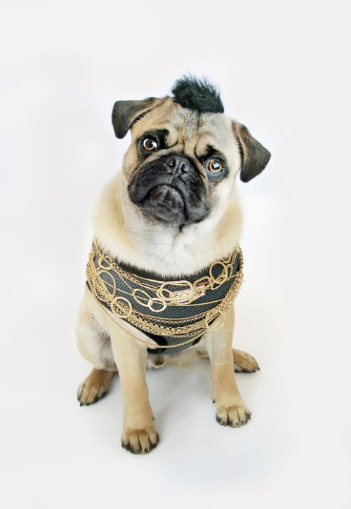 Pet Halloween costume ideas. Pitying all the fools.