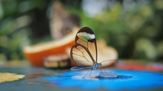 Transparent...pretty little glasswing butterfly...