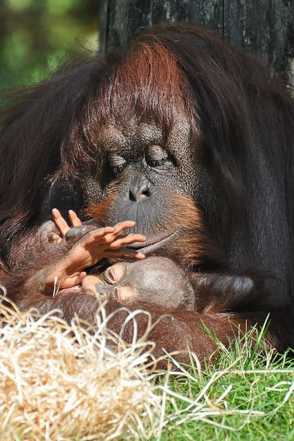 Bornean Orangutan & Young. So much love and tenderness...These are the victims of the palm oil industry. Please boycott all products containing palm oil: Earth Balance, Oreos, etc.