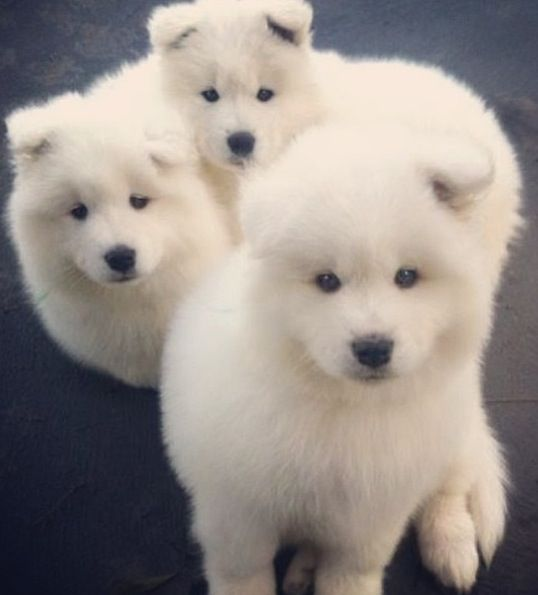 pomeranian samoyed mix 82 best images about fluff ball on pinterest cats baby 1417