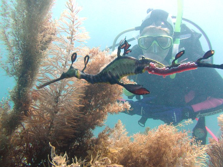 Diving with Seadragons on the Mornignton Peninsula, Australia - Book with Bayplay for snorkel or Dive with seadragons 03 5984 0888