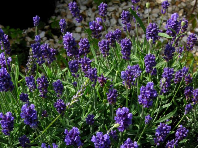 "Lavender.  Thumbelina Leigh.  Up to 12""  Dark Blue small neat flowers, Excellent dwarf variety.  (Copyright © The Lavender Garden)"