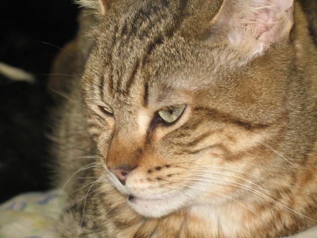 Adoptions - Shrek, cat, tabby, domestic short hair, male neutered, tabby, :: Niagara Falls Humane Society
