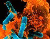 Colour SEM of phagocyte ingesting bacteria