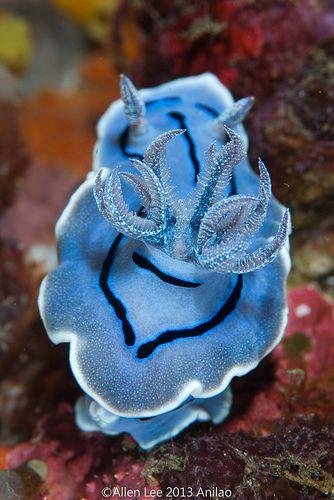 blue sea slug (nudibranch chromodoris willani), a shell-less marine gastropod mollusk
