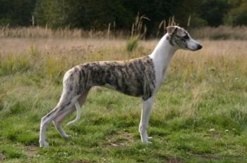 Whippet http://www.mascotadomestica.com/adriestramiento-perros/whippet.html