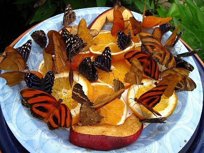 alimentador de la mariposa