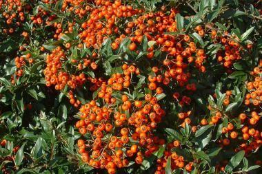 Feuerdorn 'Red Cushion' Der Pyracantha coccinea 'Red Cushion' (Feuerdorn 'Red Cushion') ist eine breitwüchsige Pflanze, die sowohl als Heckenpflanze als auch als Bodendecker verwendet werden kann. Durch die maximale Höhe von 80 cm ist diese Pflanze nur für niedrige Hecken geeignet. Der Feuerdorn 'Red Cushion' bildet im Mai und Juni hübsche, weiße Blütendolden, wonach im Herbst rote Beeren folgen.