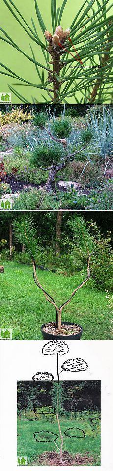 Как вырастить бонсай  | Дачная жизнь - сад, огород, дача