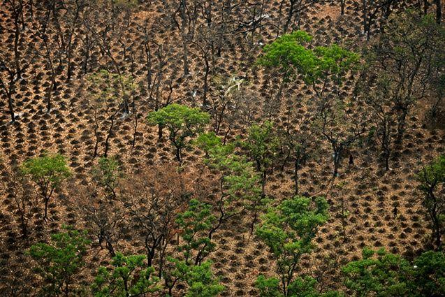 YannArthusBertrand2.org - Fond d écran gratuit à télécharger || Download free wallpaper - Culture d'ignames au nord de Tagadi, région de Bondoukou, Côte-d'Ivoire (8°43' N - 2°39' O).