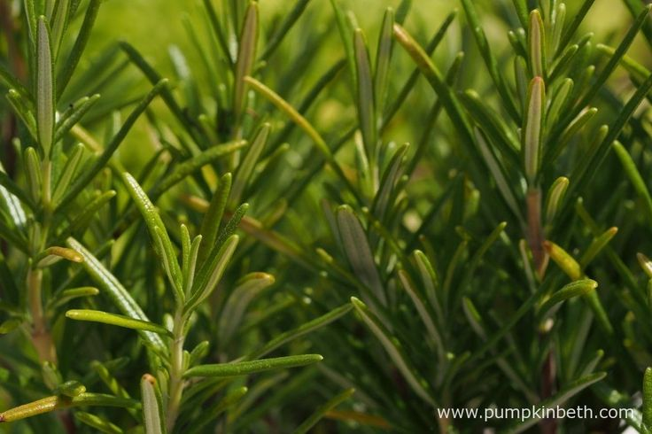 Rosemary is a super herb to grow in a sunny spot in your garden.  Rosemary grows well in containers or in well drained soil in the garden.