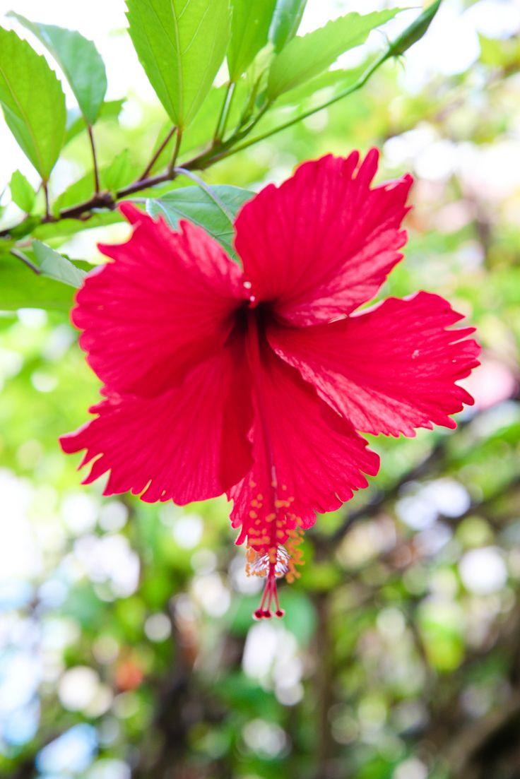 Thespesia grandiflora Flor de maga (magician's flower