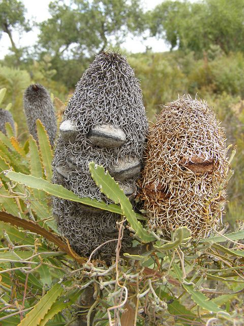 Banksia seed pods - they always look scary to me because they were the baddies in Snugglepot & Cuddlepie books ...The Big Bad Banksia Men used to steal the little gumnut babies By geoffreycrane, via Flickr