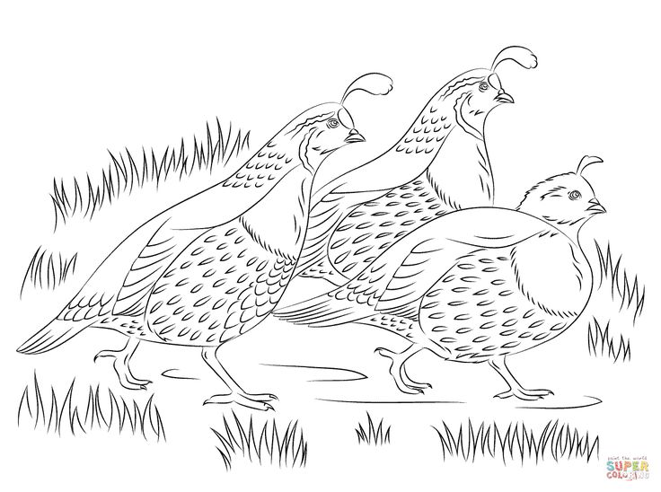 79 best California Quail images on Pinterest Quails, Bird art and - new free coloring pages quail