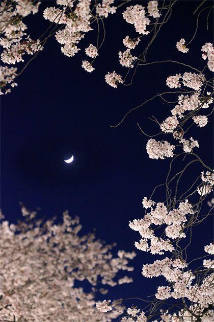 仙川の夜桜 Cherry blossoms at night of Senkawa,japan