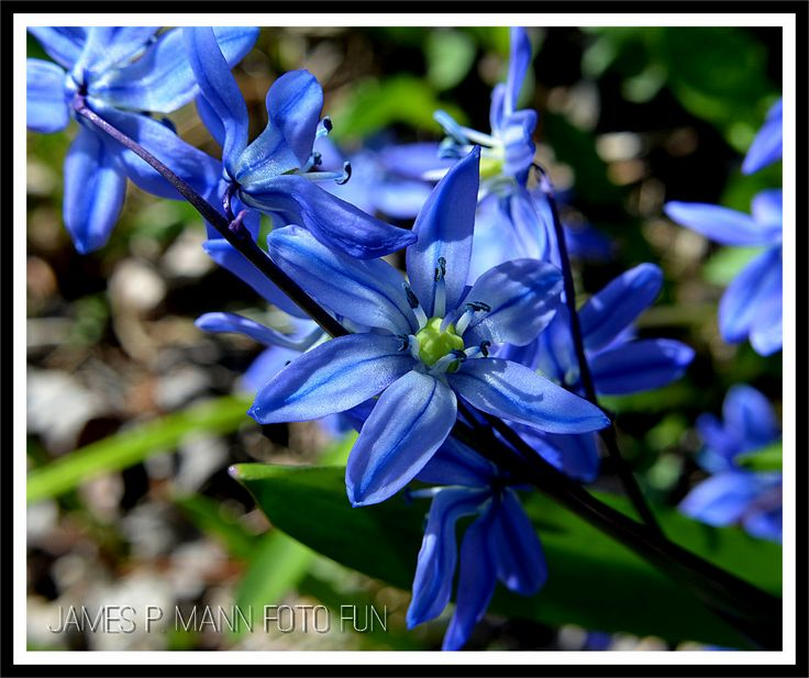 These tiny blue star like flowers are the star of our yard in early spring right after the crocus.
