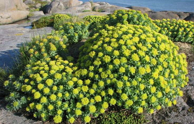 многолетнее растение Родиола
