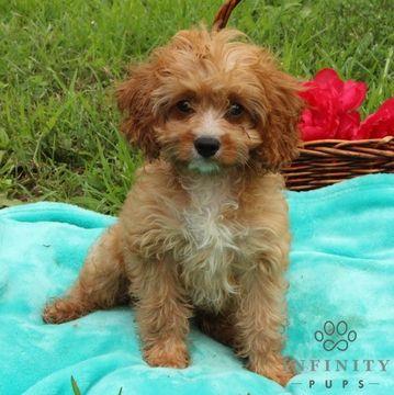 Cavapoo puppy for sale in GAP, PA. ADN-38668 on PuppyFinder.com Gender: Male. Age: 12 Weeks Old