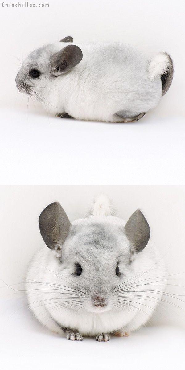 Ebony White Mosaic Locken Carrier Female Chinchilla Chinchilla Pet Super Cute Animals Chinchilla Cute
