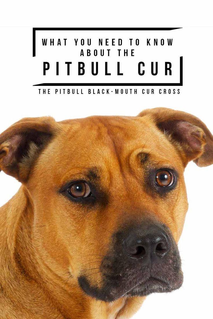 Black Mouth Cur Pitbull Mix Black Mouth Cur Pitbulls Black