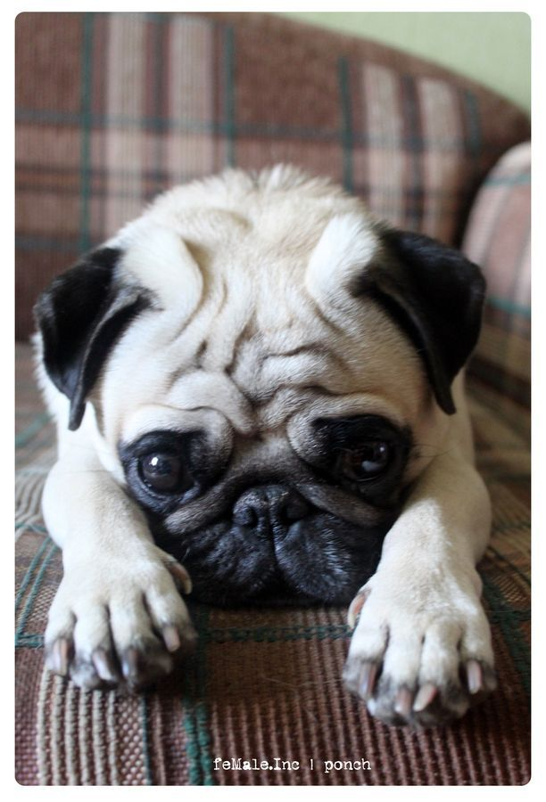 I'm sorry my paws did bad. Please forgive them. I will leave them right here till they're good again.  P.S. I love you. Your Pug.