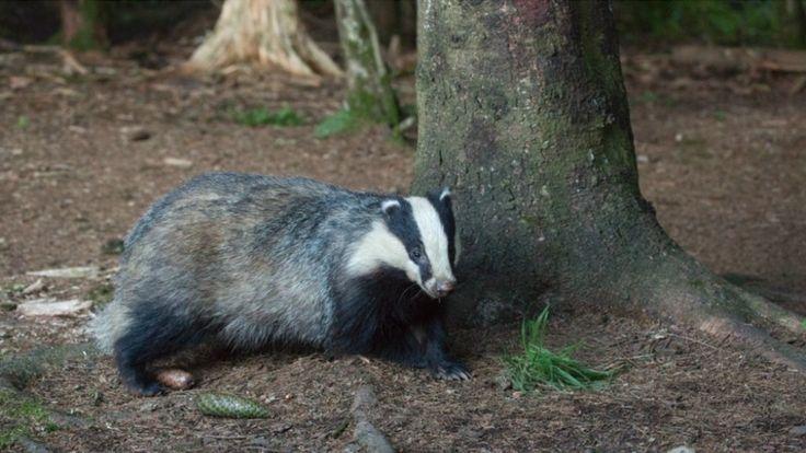 De verbreding van de A27 loopt mogelijk vertraging op door de vondst van een dassenburcht. Zeldzame dieren zijn wel vaker een nachtmerrie voor projectontwikkelaars.