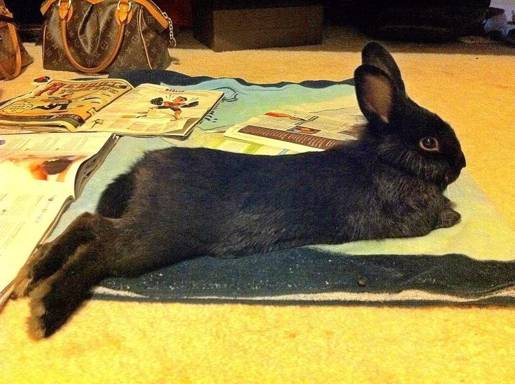 @bunnie_mama ~ #TBT to approx 2010 Ari was trying to catch up on his tabloids n UsWeekly magazines (he was also going through his first mane transition).#AriBun #Bunny #Rabbit #Lionhead #GorgeousBlackBunnies #DaKineRabbits #HawaiianBuns #PoiBunnies #RabbitsOfHawaii #FurKeikiHI #Usagi #Lapin #Lagomorph #Tho #Triusis #KaninChen #Canejo #Coniglio #Konijn #Paktoi #Tuzi #Khargoosh #Kuneho #Toki #BunnyHIClub