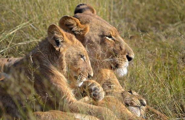 """""""Family of lions at Jao which we were lucky to spend time with, watching them eat, play and doze..."""" http://www.wilderness-safaris.com/explorations"""