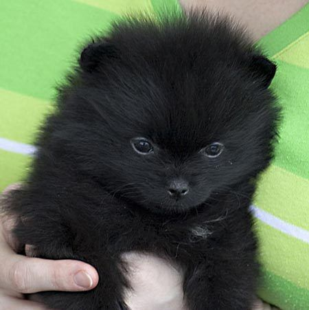 pomeranian....It's my baby Bear!!!!  To bad he doesn't look like that anymore . At 12 he is getting so grey