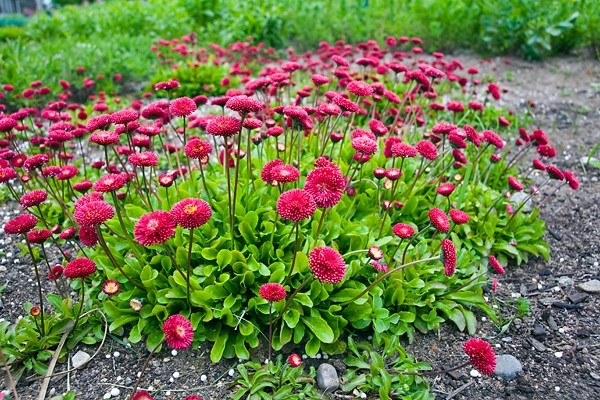 English Daisy (Bellis perennis) is a perennial, flowers and leaves are edible, has many medicinal uses as well. Insect repellent can be made with leaves.
