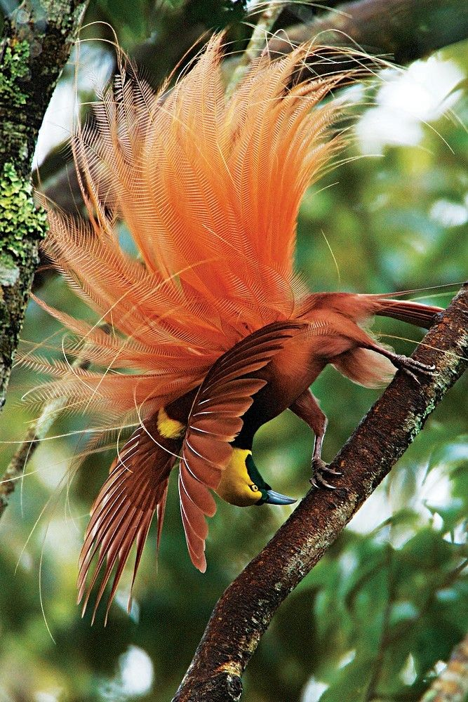 Courtship poses of the Raggiana Bird-of-Paradise (Paradisaea raggiana) accent the long red flank plumes. (Tim Laman/NATIONAL GEOGRAPHIC)