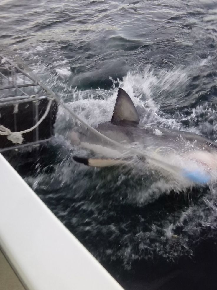 Shark cage diving Mossel Bay