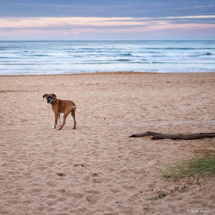 Somos el tiempo que dedicamos a nuestros sueños. (Paulo Neo)  www.angelaarribas.es  #boxer #dog #boxerdog #puppy #playtime #playa  #perro #boxerlove #miboxermola #love #sunset #nature #atardecer #sol #color #sea #mar #citas #angelaarribas #asturfoto #Asturias #asturgrafias #igers #instagramers #explore #photographer #picoftheday #dailyphoto #fotografa #love #paisaje #nature