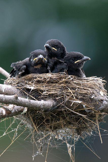 Ninho...  Drongo Negro (Dicrurus macrocercus), também conhecido como o Rei Corvo, é um pequeno pássaro asiático.