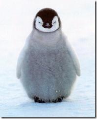 penguin: Cute Baby, Cute Penguins, Happy Feet, Pet, Happyfeet, Baby Animal, Baby Penguins, Emperor Penguins, Socute