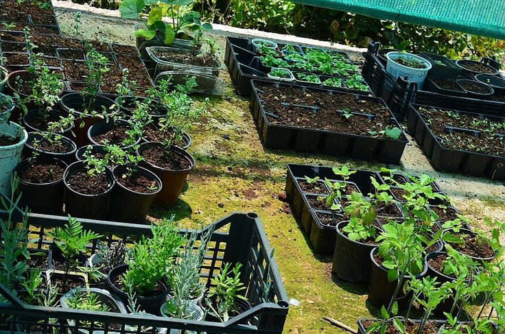 A selection of herbs waiting to be replanted in the ground