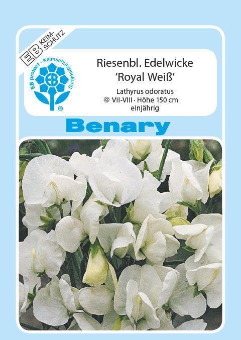 Benary Edelwicke Royal Weiß, einjährig