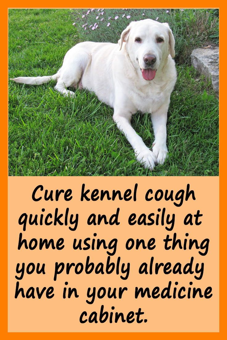 How I Cured My Dog S Kennel Cough Saving Cats Dogs And Cash In 2020 Dog Cough Remedies Kennel Cough Treatment Dog Coughing