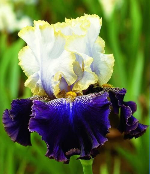 Iris germanica 39 slovak prince 39 tall bearded iris - Iris germanica ...