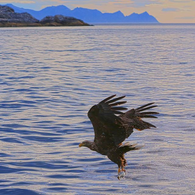 Sea eagles are often seen during our fishing trips and fjord cruises. #seaeagle #seaeagles #birdofprey #birdwatching #wildlife #wildlifephotography #travelphotography #fjordcruise #fjord #sightseeing #charterboat #charterboatfishing #kvaløya #tromsø #troms #northernnorway #norway #scandinavia #visittromso #visittromsø #visitnorway #visitnorthernnorway #explore #arctic #explorethearctic