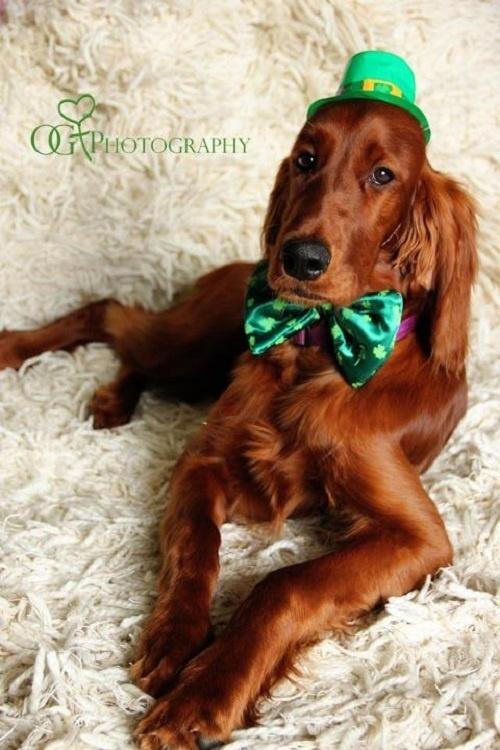 Ruairi's Irish Setters, Irish Setters, florissant, CO
