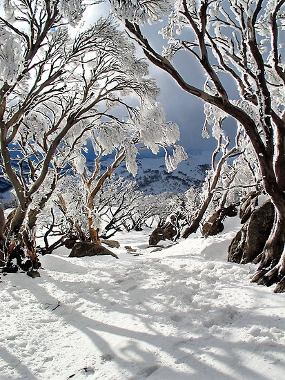 """Snowgums""    [A few snowgums in the afternoon light at Guthega in the Snowy Mountains Australia.]~[Photographer David Sundstrom]'h4d'121009"