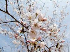 桜「ソメイヨシノ」 苗木 1.2m程度